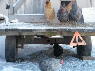 chickenswinter