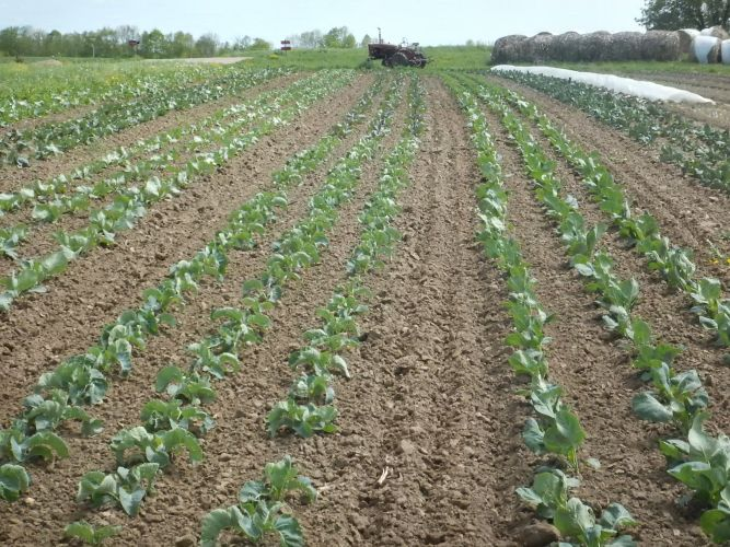 Brassica Cultivation